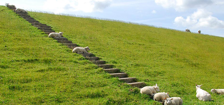 texel-vakantie-verhuur-schapen-op-dijk